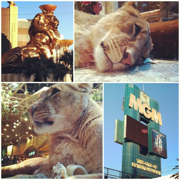The lions at MGM Grand