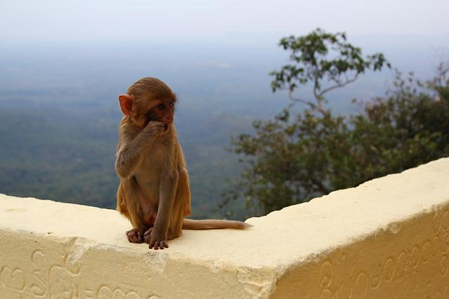 Monkey - Mount Popa