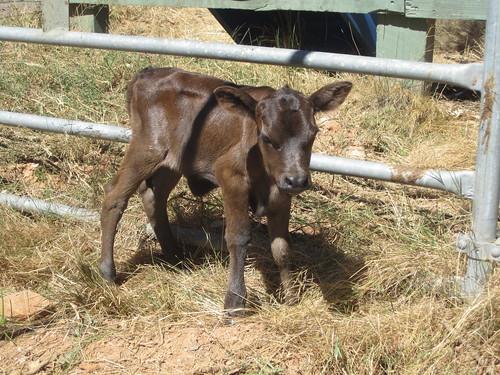 twin calf