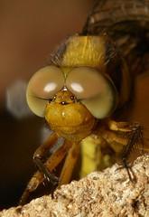 Newly emerged adult dragonfly
