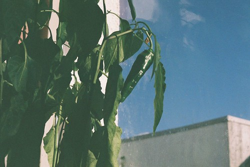FILM 01 - chilli plant in sun.