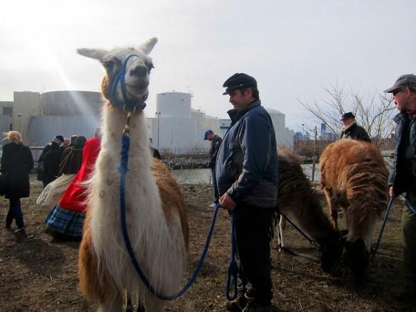 Llamas and gas tanks