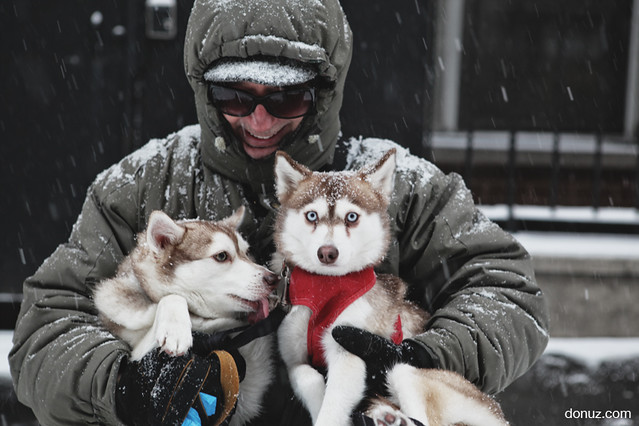 dog walker in new york city with alaskan klee kai dogs