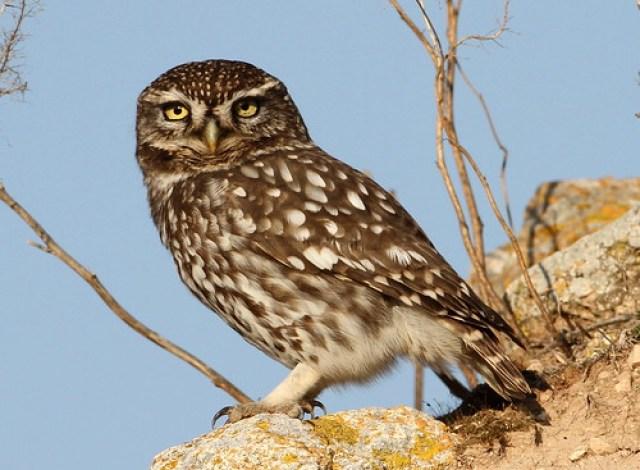 2012_01_20 LaC - Little Owl (Athene noctua) 08