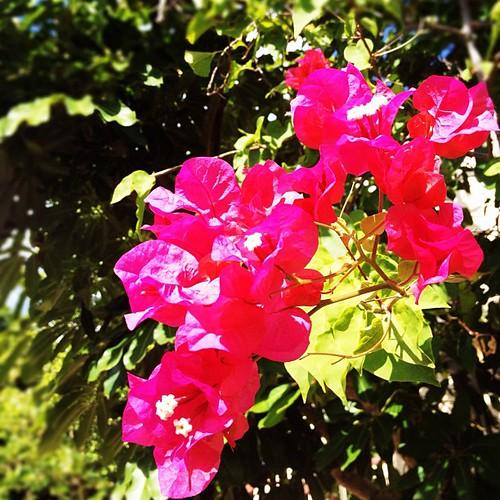 #islands #flowers #vegetation #caribbean #virginislands #stt #lush #vivid