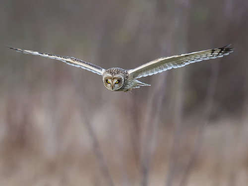 Short-eared Owl-hunting