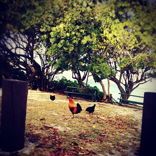 #rooster #beach #vegetation