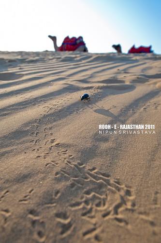 The desert beetle.