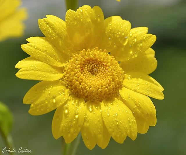 sarı papatya avatar