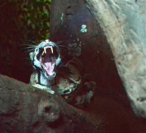 Yawning Clouded Leopard