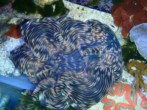 Squamosa Clam (tridacna squamosa)