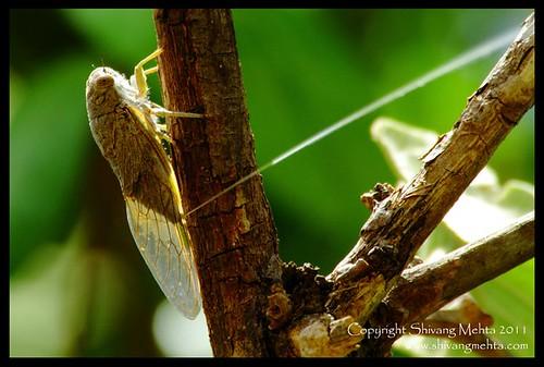 The Cicada Rain