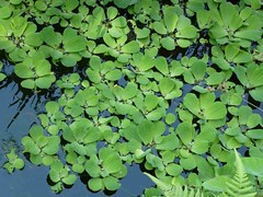 Trekking: water lilly #2