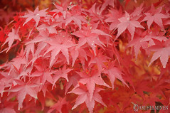 Autumn leaf colors in Japan 紅葉