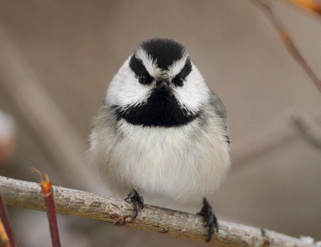 Perpetually Angry Chickadee!