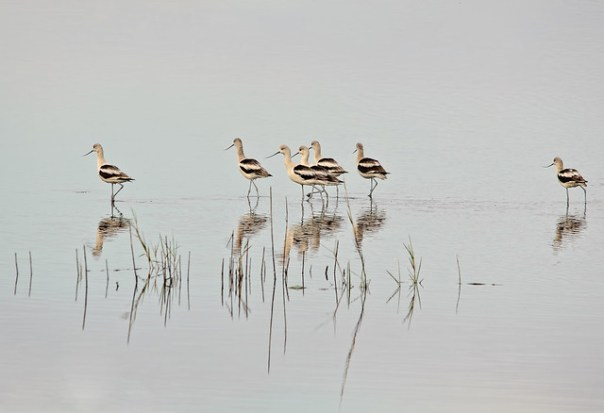 Follow the leader: American Avocets, winter plumage