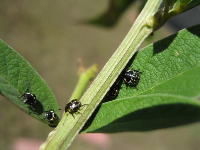 Stink bug babies