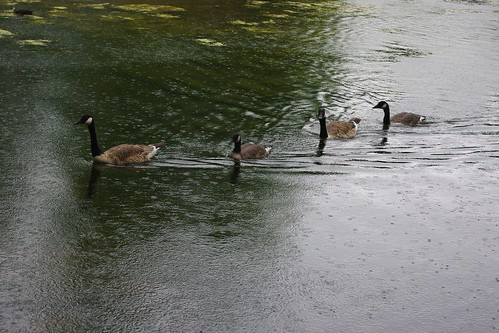 20110625-14_Geese in the rain - Ryton Pools by gary.hadden