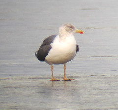 Lesser Black-backed Gull at Budd Lake, NJ - Jan. 6, 2012