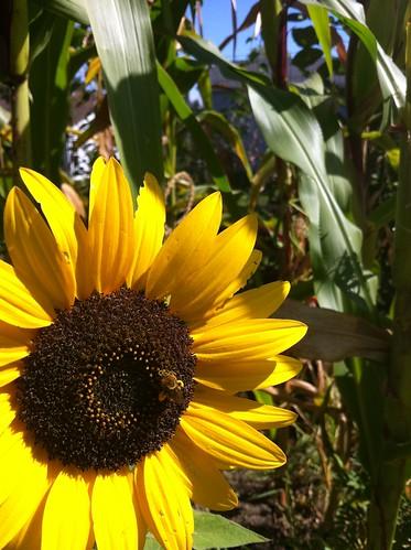 Happy bee pollinating Waooh sunflower. 09-08-11