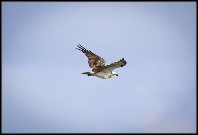 Osprey flying around the island