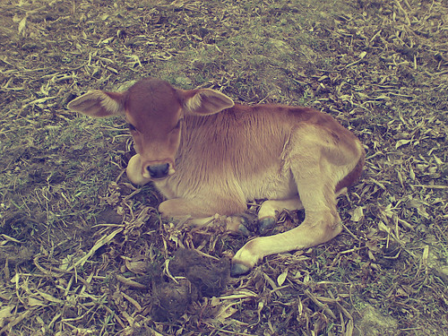 Baby Cow Photography