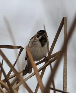 2012_01_17 LN - Reed Bunting (Emberiza schoeniclus) 02