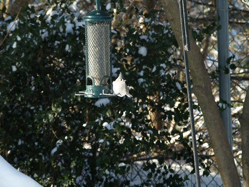tufted titmouse at feeder