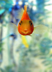 a face of goldfish