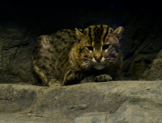 Chillin' Fishing Cat