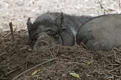 Vietnamesische Hängebauchschwein im Zoo de Trégomeur