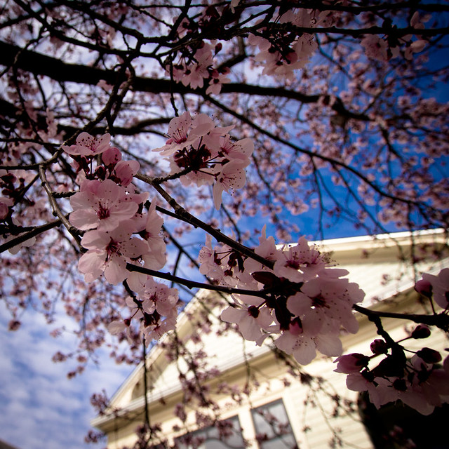 cherry blossoms in bernal heights