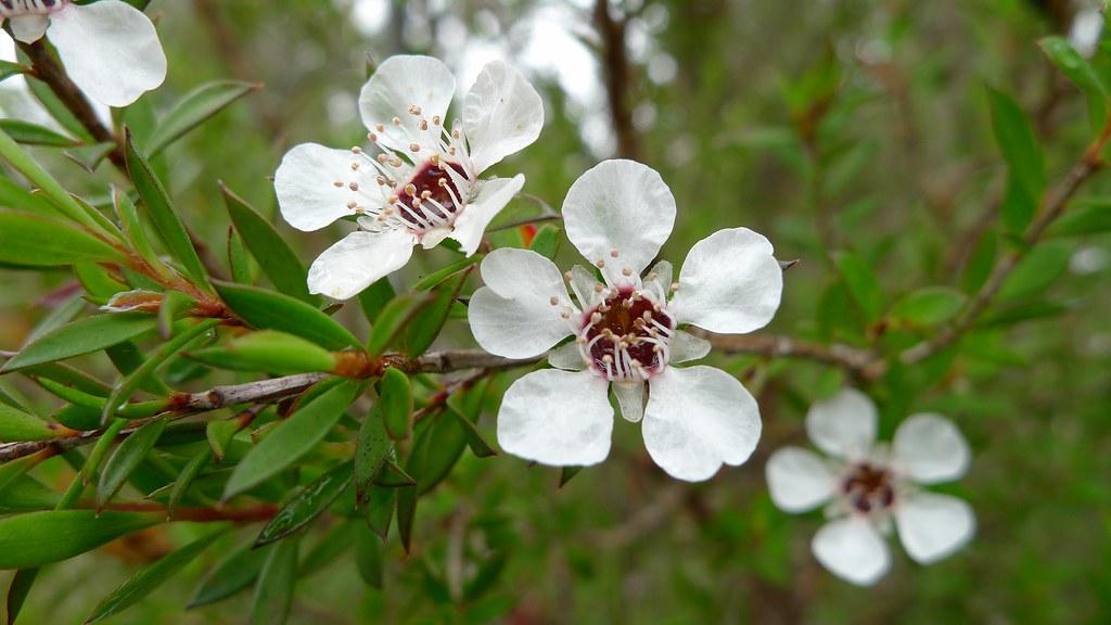 Common Tea-tree flower