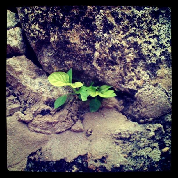 Vida que nasce das pedras. #tiradentes #mg