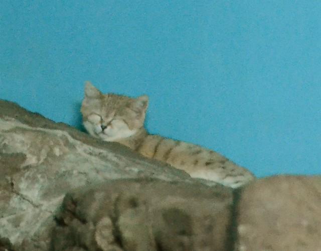 Sleepy Sand Cat