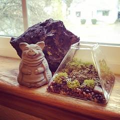 Lichen Terrarium, Meditating Pig, Lava Rock
