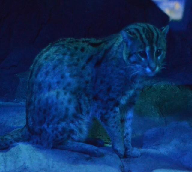 Night Hunters Fishing Cat (Raw)