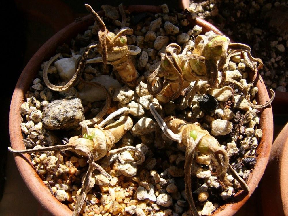 Monilaria moniliformis (2/6)
