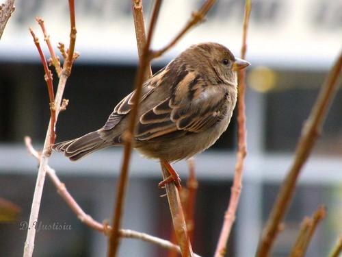 Cute Sparrow