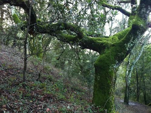 Greens moss tree