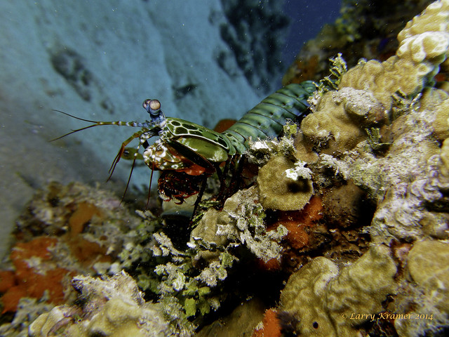 DSCN6138-11_Mantis shrimp_stomatopods