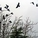 Jackdaws before the storm