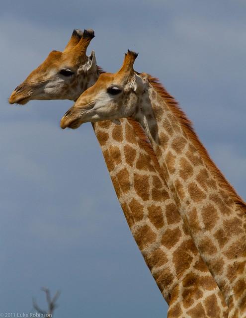 Adolescent Sparring Giraffe