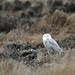 Snoy Owl at Rest