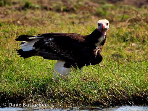Whiteheaded Vulture
