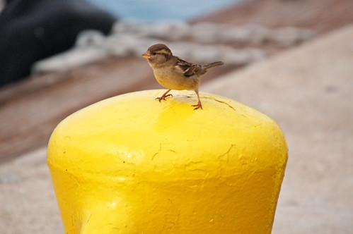 sparrow on bollard