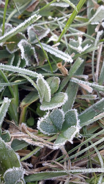 Frosted Clover Leaves