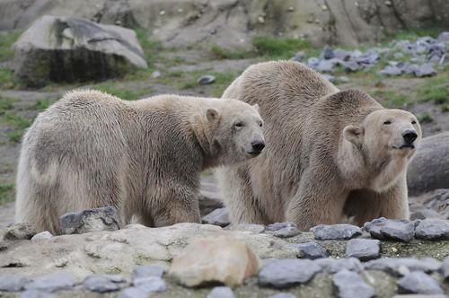 Eisbären Olinka und Vicks im Diergaarde Blijdorp in Rotterdam