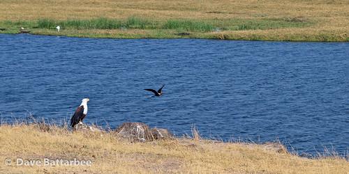Fish Eagle and Darter