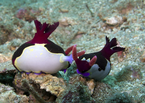 nudibranch meeting